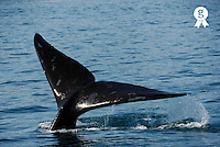 Tailfin of Southern right whale (Eubalaena australis) in water (Licence this image exclusively with Getty: http://www.gettyimages.com/detail/73014028 )