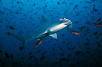 scalloped hammerhead shark, Sphyrna lewini, Darwin Island, Galapagos, Ecuador, Pacific Ocean .