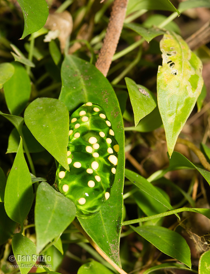 Egg mass of Red-eyed Treefrog, Agalychnis callidryas, on a leaf in Sarapiquí, Costa Rica