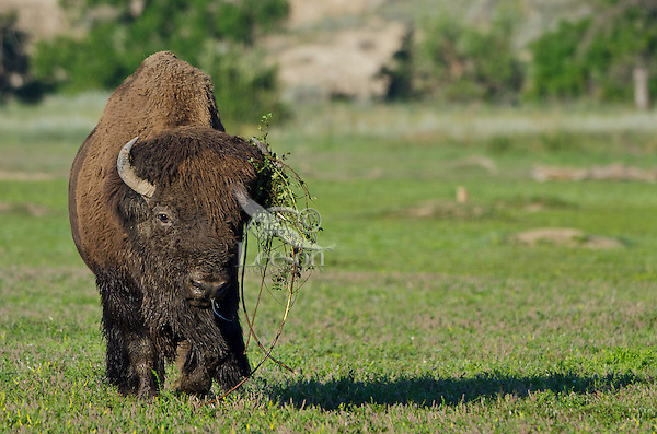 American bull bison (Bison bison) wearing part of a bush he has thrashed during the summer bison rut.  Northern Great Plains.