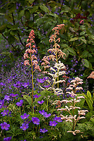 Pink and white flower Astilbe with blue Geranium in California perennial garden