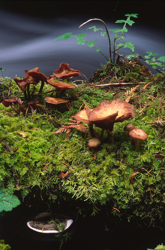 Mushrooms and Plants on Log in Rainforest Stream, Columbia River Gorge National Scenic Area, Oregon, US