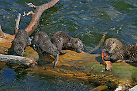 Northern River Otter (Lontra canadensis) mother--with young pups-- feeding on cutthroat trout.  Western U.S., summer.  At this stage the pups did not have the teeth to tear or chew the fish skin, but they constantly harassed the mother while she ate.