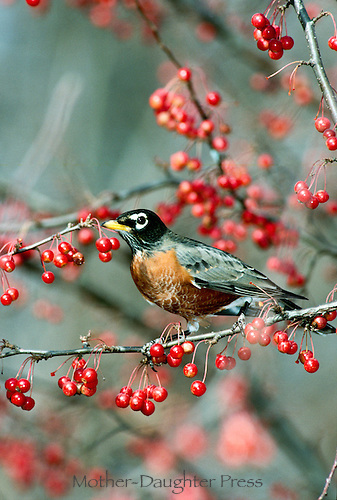 Robin, turdus migratorius, in crabapple tree with ripening crabapples, fall, midwest