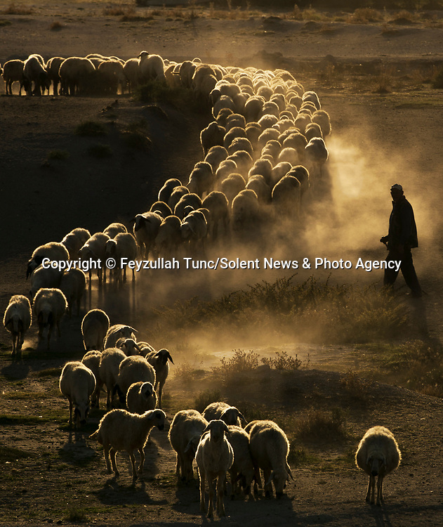 Shepherds lead a large flock of sheep along a dusty path as the sun sets.  The sheep remain close to each other as a golden light beams down at them.<br /> <br /> Amateur photographer and father-of-one Feyzullah Tunc captured the sheep as they were led through rugged land in Karaman, Central Anatolia, Turkey.  SEE OUR COPY FOR DETAILS.<br /> <br /> Please byline: Feyzullah Tunc/Solent News<br /> <br /> © Feyzullah Tunc/Solent News & Photo Agency<br /> UK +44 (0) 2380 458800