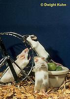 MU60-069z  Pet mouse - exploring