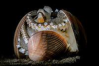 Coconut Octopus (Amphioctopus marginatus) playing with shells