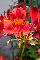 Alstroemeria Rock 'n' Roll ('AlsDuno1') in flower with variegated foliage