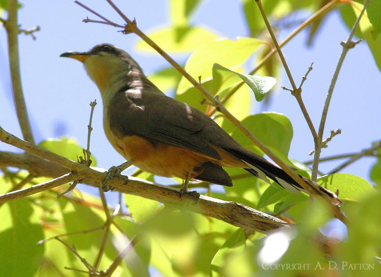 Mangrove cuckoo in tree
