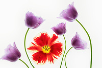 Close up of Purple Tulips and red tulip.