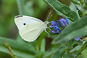 Small white butterfly (Pieris rapae) on Viper's-bugloss (Echium vulgare), Aveyron, France, early June.