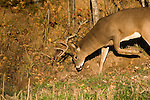 White-tailed buck (Odocoileus virginianus) working a scrape