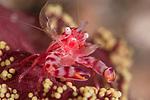 Four lobed Porcelain Crab,Lissoporcellana quadrilobata