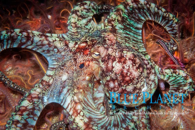 two-spot octopus, Octopus bimaculoides, California, USA, Pacific Ocean