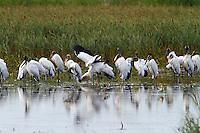 Group of wood storks preening