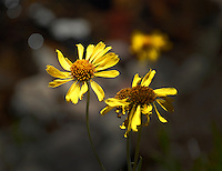 Wildflowers near Sonora Pass, CA