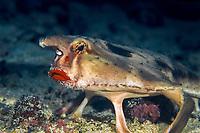 rosy-lipped batfish or Cocos batfish, Ogcocephalus porrectus, Cocos Island National Park, Costa Rica, Pacific Ocean