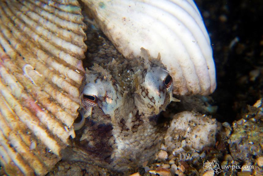 Coconut octopus, Amphioctopus marginatus, Komodo national park, Indonesia june 2011