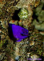 0118-08pp  Fairy Basslet Looking Out of Hole - Royal Gramma Basslet - Gramma loreto © David Kuhn/Dwight Kuhn Photography
