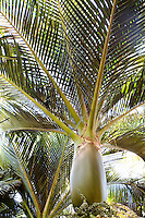 Norfolk Island Palm tree (Rhopalostylis baueri) in Lotusland garden