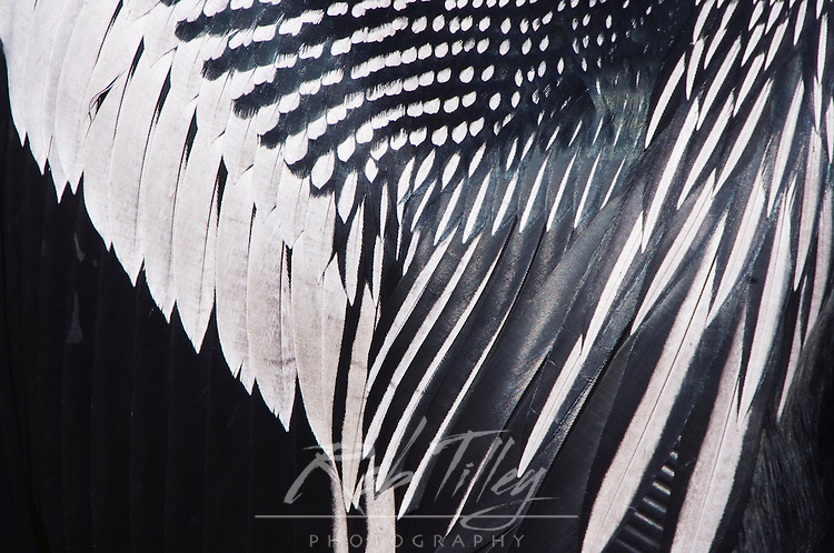 USA, Florida, Everglades NP, Anhinga Feather Detail