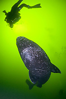 Greenland sleeper shark, Somniosus microcephalus, & divers, St. Lawrence River estuary, Quebec, Canada (this shark was wild & unrestrained; it was not hooked and tail-roped as in most or all photos from the Arctic)