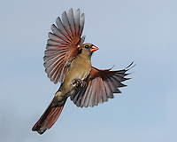 """This Northern Cardinal female's gonna """"Take Me Higher"""" :)"""