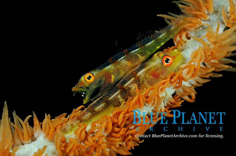 pair of wirecoral gobys, Bryaninops yongei, sitting on wirecoral, Bali, Indonesia, Indopacific Ocean