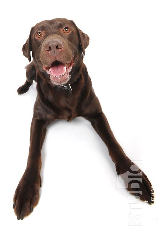 Chocolate Labrador in studio white background wide angle