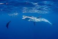Bryde's whale, Balaenoptera brydei or Balaenoptera edeni, approaches baitball of sardines, Sardinops sagax, to feed with California sea lion and striped marlin, off Baja California, Mexico ( Eastern Pacific Ocean )