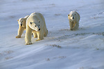 A polar bear family walks across the snow-covered grass in Churchill, Manitoba, Canada.