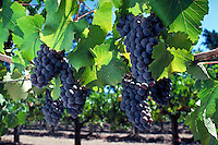 Bunches of purple grapes and leaves on vine in vineyard. California