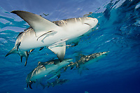 School of Lemon sharks. Negaprion brevirostris.