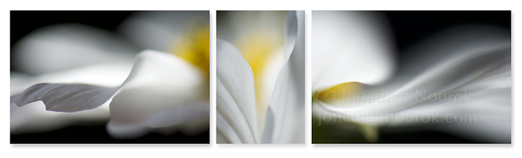 Close-up photographic triptych of cosmos flowers