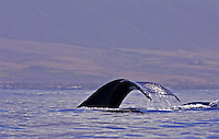 A humpback whale does a fluke up dive with the island of Maui in distance.