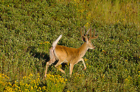White-tailed Deer buck (Odocoileus virginianus) in velvet.  Western U.S., summer.