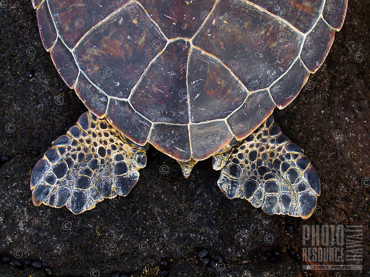 A close-up of the tail and hind flippers of a resting green sea turtle (or honu) sleeping on lava rock, Kekaha Kai State Park, Big Island.