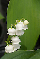 Convallaria majalis Lily of the valley in spring bloom