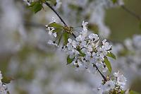 Vogel-Kirsche, Vogelkirsche, Kirsche, Süß-Kirsche, Süss-Kirsche, Süsskirsche, Süßkirsche, Wildkirsche, Wild-Kirsche, Kirschblüte, Blüte, Blüten, Prunus avium, Gean, Mazzard, Wild Cherry, Le merisier, cerisier des oiseaux