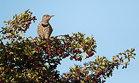 A Northern flicker perches on a berry-laden bush at Boundary Bay.