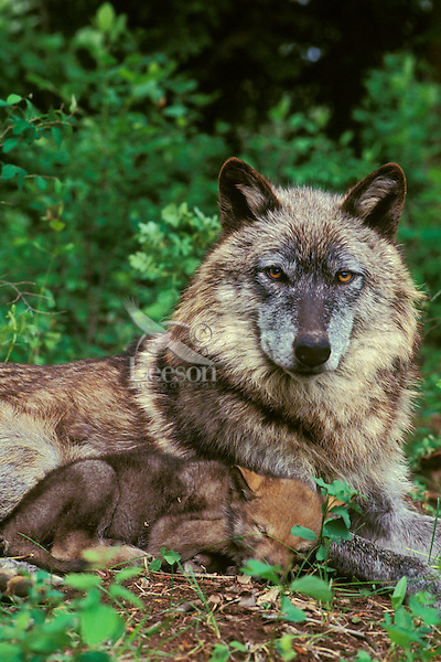 Gray Wolf or Timber Wolf (Canis lupus)--mother with young pup.