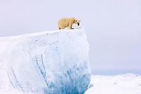 polar bear, Ursus maritimus, on a giant iceberg in the frozen eastern Chukchi Sea, Arctic Alaska, polar bear, Ursus maritimus