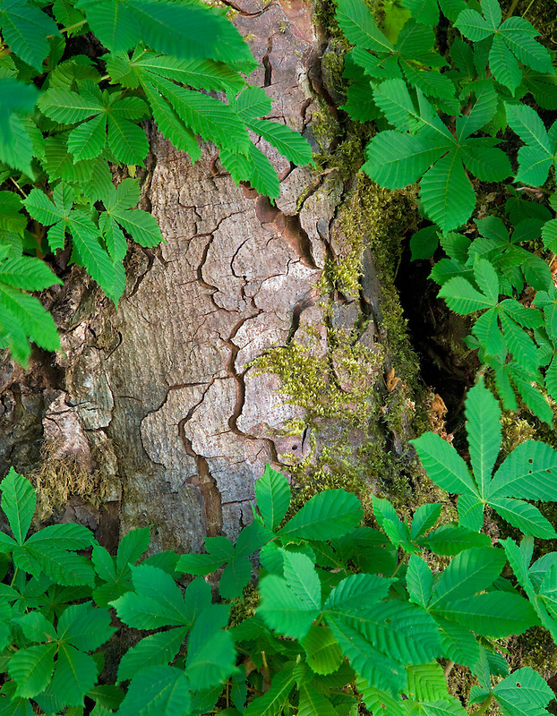 Trunk and leaves of Horse Chestnut tree. Olympic National Park. Washington