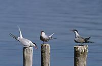 Fluss-Seeschwalbe, Fluß-Seeschwalbe, Flußseeschwalbe, Flussseeschwalbe, Seeschwalbe, Sterna hirundo, common tern