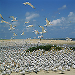 Huge flocks of Caspian and Sandwich Terns congregate on a sandy beach on The Gulf of Mexico.