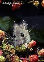 MU50-128z   Deer Mouse - young adult eating blackberries - Peromyscus maniculatus