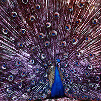 The male peacock is a real showman. Whether coming towards you or moving away you just have to gawk and laugh.<br /> <br /> -Limited Edition of 50 Prints