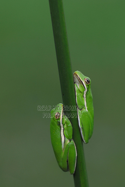 Green Treefrog (Hyla cinerea), two frogs sleeping reed, Fennessey Ranch, Refugio, Coastal Bend, Texas, USA