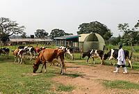KENIA, County Kakamega, Bukura, ATDC Agricultural Technology Development Center, milk cow farm, pasture / Milchvieh, Weidehaltung