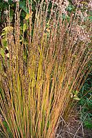 Molina caerulea subsp caerulea Moorhexe in autumn fall color